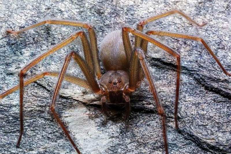 The newly discovered venomous spider